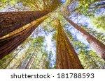 Sequoias In California View...
