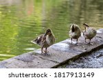 Three Ducklings Standing By The ...