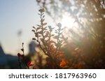 purple leaves on bush of...   Shutterstock . vector #1817963960