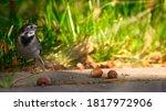 The Wagtail Motacilla  A Small...