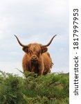 Scottish Highland Cow Front...