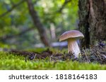 Big Mushroom Grows On Forest...