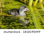 A Juvenile American Coot Is...