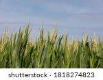 Cornfield With Corn Tassels...