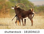 Pair Of Sable Antelopes ...