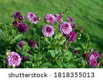 Purple Dahlia Variety Hugs \'n...