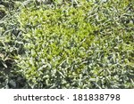 frost on the grass in spring... | Shutterstock . vector #181838798