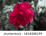 it is red rose beautiful... | Shutterstock . vector #1818388199