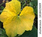 Yellow Greenish Shaded Pumpkin...