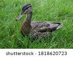 A Female Mallard  Wild Duck ...
