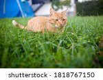 Shorthair Red Tabby Cat With...