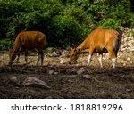 Banteng Endangered Animal In...