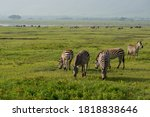 Group Of Zebras Equus Quagga...