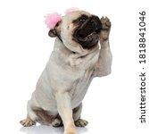 Cheerful Pug Puppy Wearing...