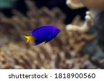 Yellowtail Damselfish ...