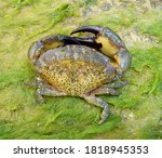 The jaguar round crab (Xantho poressa) on the seashore near the surf zone.