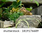 Chipmunk Looking Out From A Rock