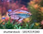 Congo Tetra Fish ...