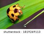 Closeup Yellow Ladybug On Green ...
