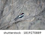 Little Woodpecker Sits On A...