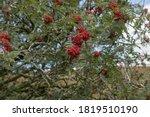 Red Autumn Berries On A Rowan...