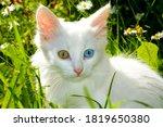 White Kitten With Eyes Of...