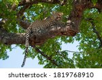 Male leopard photographed resting in a tree on a safari in South Africa - stock photo