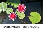 Leydecker Water Lily Top View...