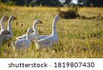 Domestic Geese On A Meadow....