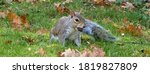 Grey Squirrel With Acorn In Its ...