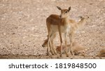 Cute Antilopes From Indian...