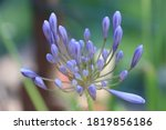 Agapanthus Flower In Close Up