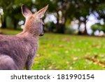 Young Kangaroo On East Coast O...