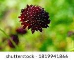 Dark Purple Scabiosa Pincushion ...