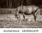 Mule Foal With Mare On The...