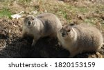 Couple Of Alert Marmots Ready...