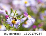 Aster Flower And Hoverfly  Also ...