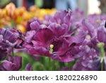 Pinky Violet Tulips  Tulipa ...