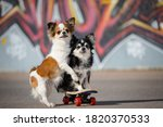 Two Funny Little Chihuahua Pets ...
