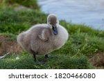 Baby Swan Cygnets Chicks On...