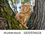 A Big Red Maine Coon Kitten...