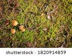 Wild Brown Mushrooms In A Wet...