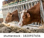 Cows And Cattle In The Cowshed