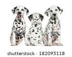 Dalmatian Puppies Sitting...