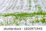 Snow Covered Green Field Of...