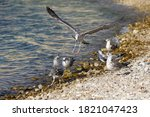 Group Of Gray Gulls On The...