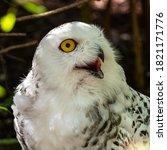 The Snowy Owl  Bubo Scandiacus...