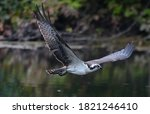 The Osprey Or More Specificall...