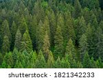 Alpine Spruce Forest On A Hill. ...