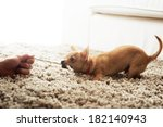 Stock photo cute chihuahua dog playing on living room s carpet with a rope 182140943